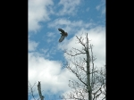 Hawk in flight over North River