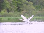 NR swan take off IMG_0051