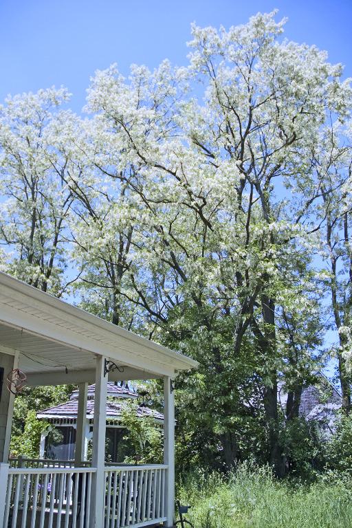 DSC_6045 Black locust white flowers