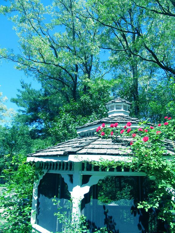 IMG_0900 Black Locust trees bloom