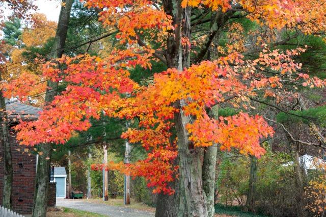 Fall trees_DSC0115 West St