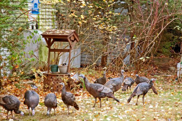 Turkeys_DSC0065 Flock