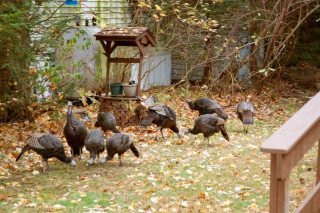 Turkeys_DSC0070 peck peck peck