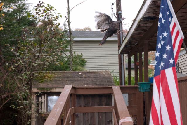 Turkeys_DSC0074 Winging it