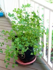 Italian Parsley IMG_0398