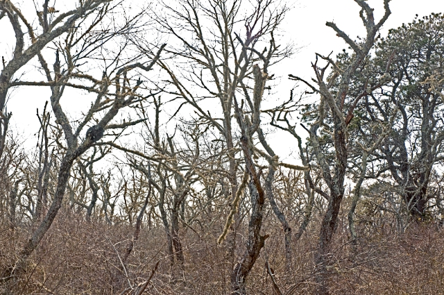 Wellfleet dead forest_DSC0031